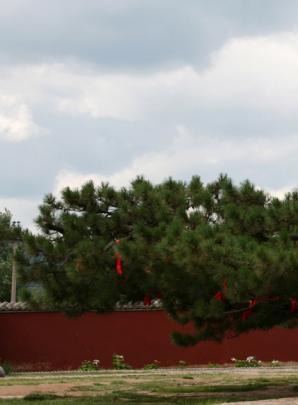 古树名木:河北承德丰宁有棵千年古树 九枝如龙